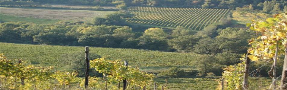 Auf dem Foto sieht man einen Teil der Weingärten und Olivenhaine von Podere Castellaccia von Alfonso Pellegrini. Foto Podere Castellaccia