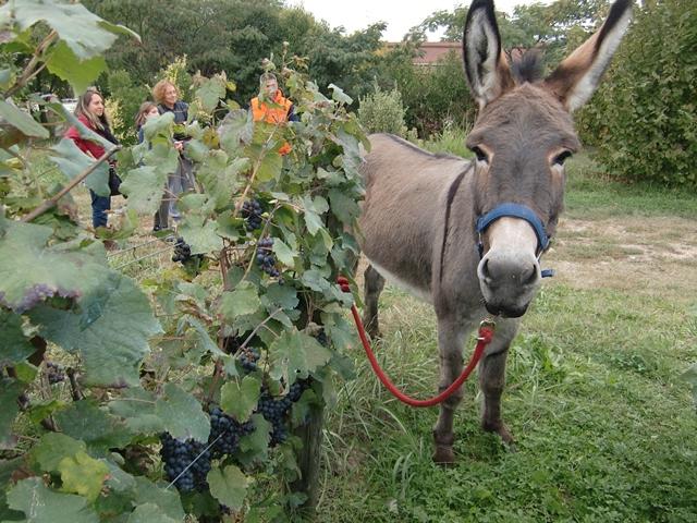 Bevor es richtig losging mit der Weinlese mit Eseln, guckten alle noch etwas ungläubig. (Foto Katrin Walter) Auf dem Foto sieht man einen Esel an einer Rebenreihe stehen.