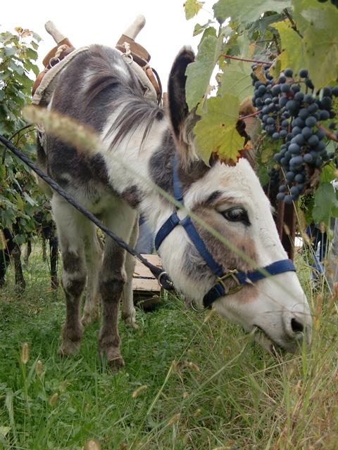 """Bei der Weinlese mit Eseln wird von Principina (Name der Eselin) auch gleich das Gras """"gemäht"""" (Foto: Katrin Walter) Man sieht den Esel zwischen den Rebenreihen, der sich an der Begrünung dort labt."""