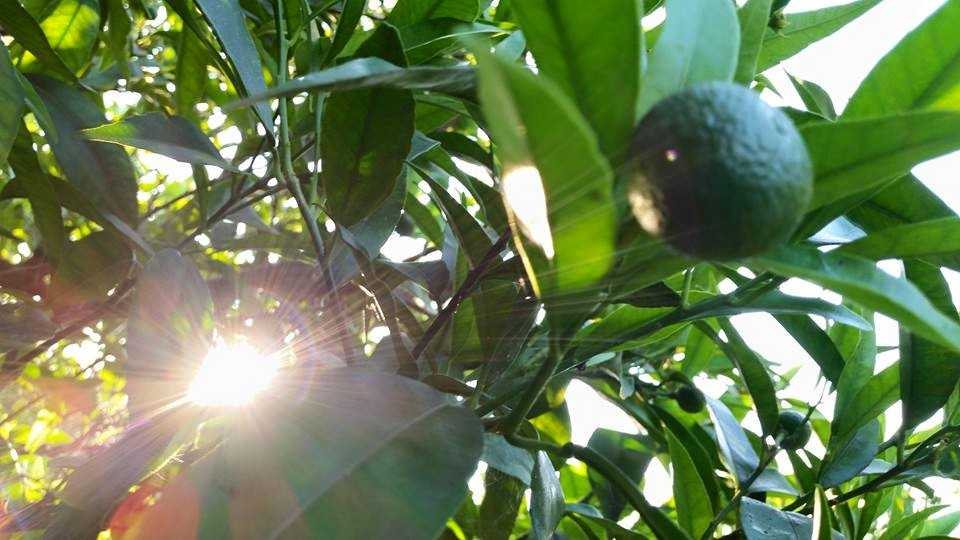 Clementinen aus Corigliano Calabro, eine Eingebung geschmacklicher Art.