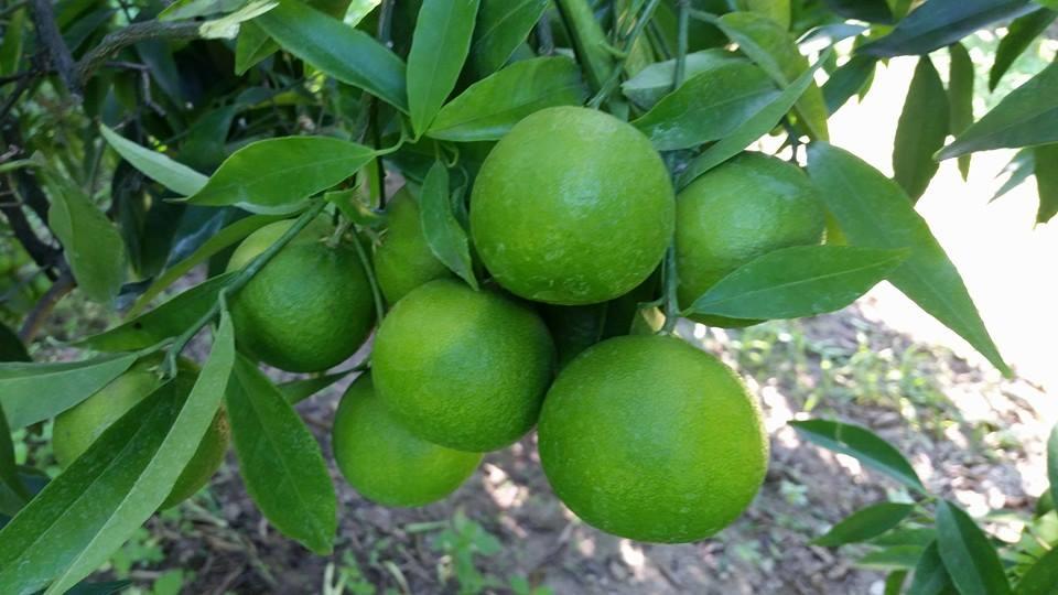 Die Clementinen der Azienda Agricola Perseverantia von Aldo Salatino wachsen naturbelassen heran. Sie reifen, je nach Sorte, zwischen Oktober und Februar.
