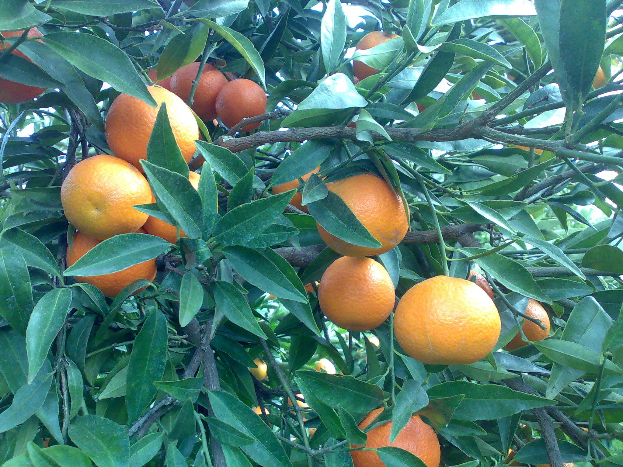 Man sieht die reifen Clementinen aus Corigliano Calabaro am Baum hängen (Foto: Aldo Salatino, der Erzeuger)