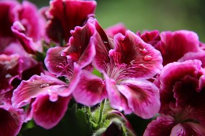 Foto von Katrin Walter: Edelgeranie in Pink für die 7 Nature Photo Challenge