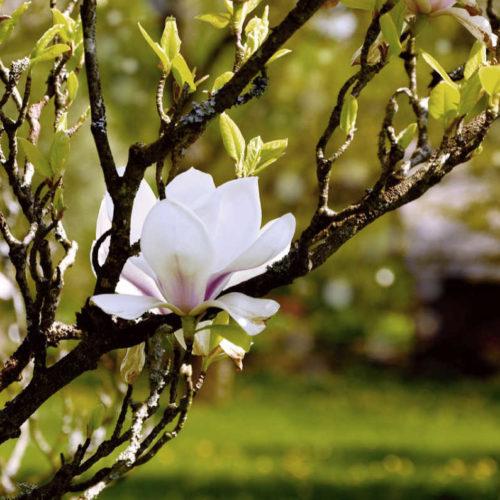"""Magnolie im Frühling als Illustration für die Hoffnungs-Poesie in Zeiten des Coronavirus """"Doch der Frühling wusste es nicht"""" von Irene Vella"""