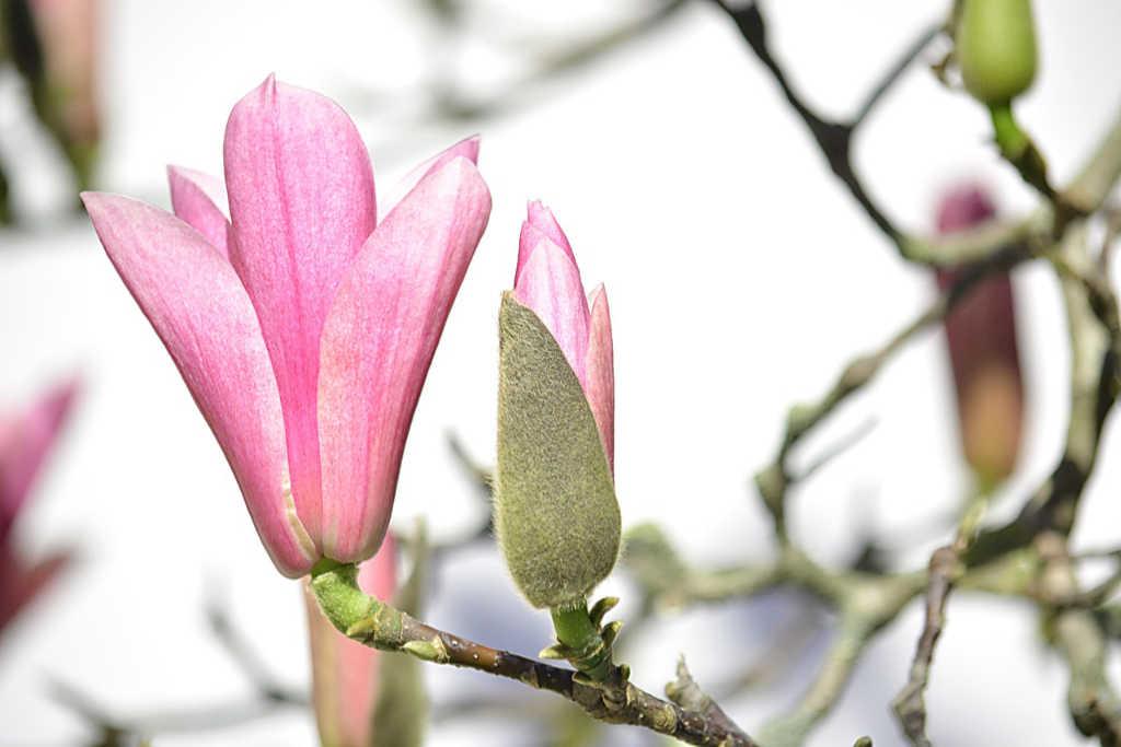 """Magnolienblüte als Illustration für das Gedicht """"Doch der Frühling wusste es nicht"""" von Irene Vella, Übersetzung Katrin Walter"""