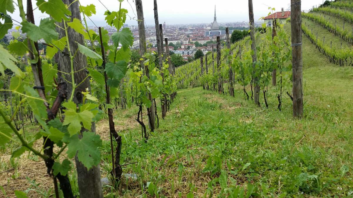 Der Weinberg mit Freisa-Reben der Villa della Regina mit Blick auf die Stadt Turin. Foto: Katrin Walter - simply walter
