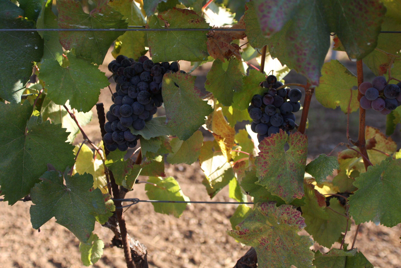 """Der Weinberg von San Savino, wie """"aus dem Ei gepellt"""": Cannaiola Nera in niedriger Produktion im Reifestadium Ende August 2008; reif sind die Beeren fast schwarz."""