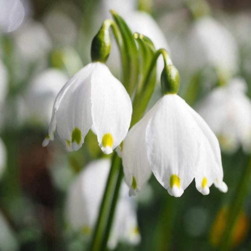 Frühlingsknotenblume als Symbol für den Relaunch von simplywalter.biz am 20.04.2018