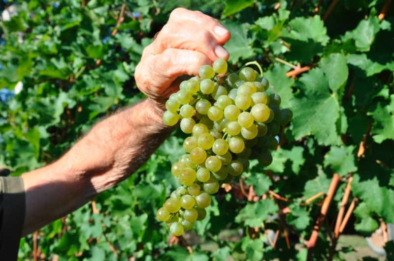 Eine Traube, aus der der Wein San Martino della Battaglia Doc wird. simplywalter.biz